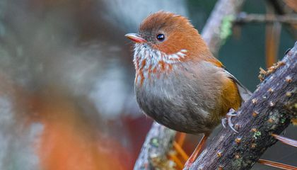 Himalayan Songbirds Adapted to the Cold by Sporting Thicker Down 'Jackets'