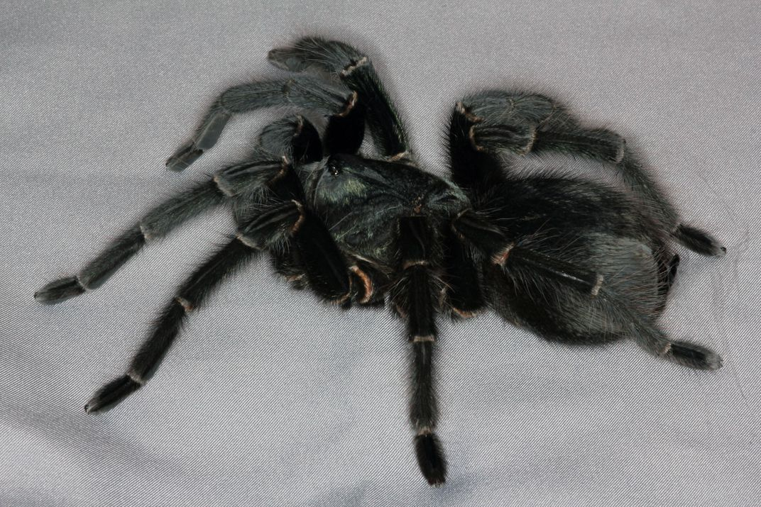 Meet The Prize Winning Spiders From The British Tarantula