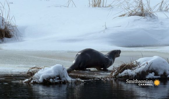 Preview thumbnail for video'This River Otter Is Bracing for a Harsh Michigan Winter