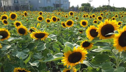Go Waist Deep Into the Largest Sunflower Farm in Northern Taiwan