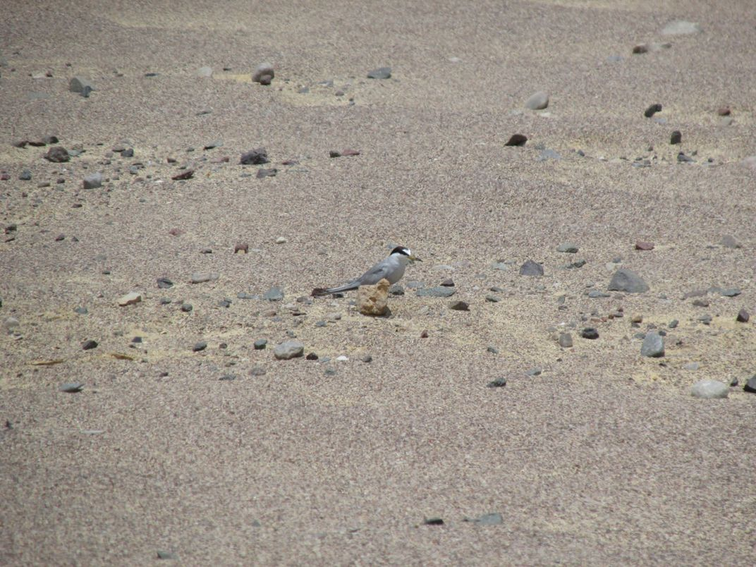 A small shorebird bird, called a Peruvian tern, stands camouflaged among the sand and rocks of its desert nesting habitat