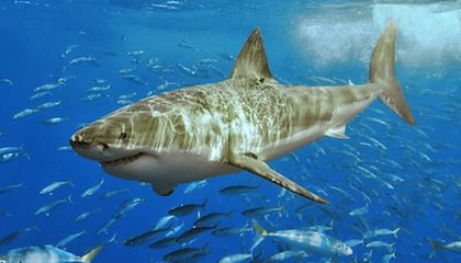 "Researchers Working on a ""Chill Pill"" for Sharks"