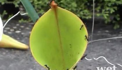 Pitcher Plants Entice Ants With a Water Slide of Death
