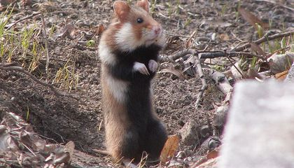 Diet Deficiency Can Lead to Cannibal Hamsters