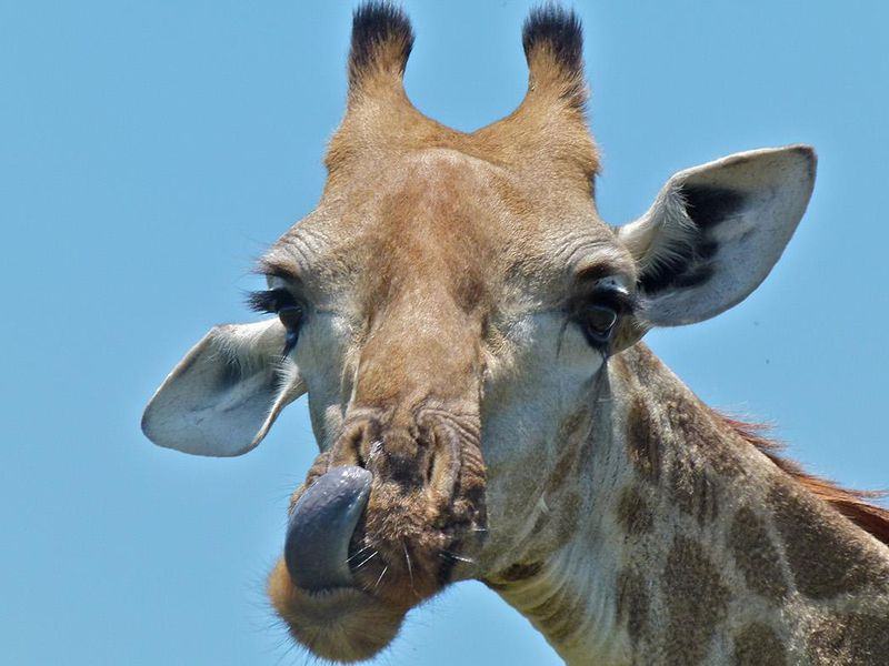 How a Tiny Worm is Irritating the Most Majestic of Giraffes  06c386e42