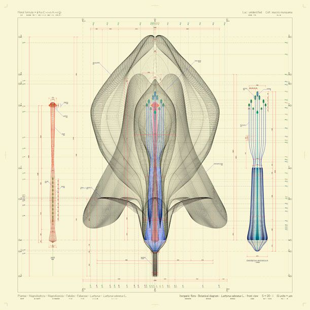 A front view of Lathyrus odoratus L. 2009-2012. By Macoto Murayama
