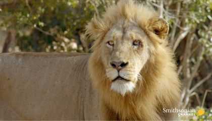 What Lions Look for in the Perfect Prey