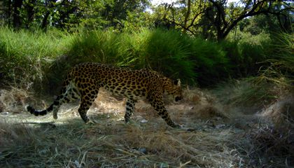 The Indochinese Leopard Is Down to Just a Few Lives