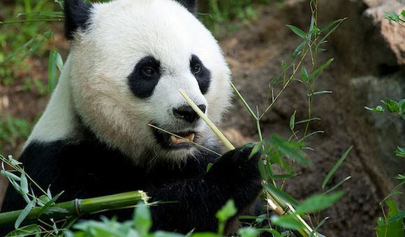 Preview thumbnail for video'Sneak Peek of Panda at the National Zoo