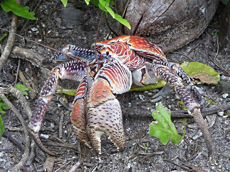 Coconut Crabs Eat Everything from Kittens to, Maybe, Amelia Earhart