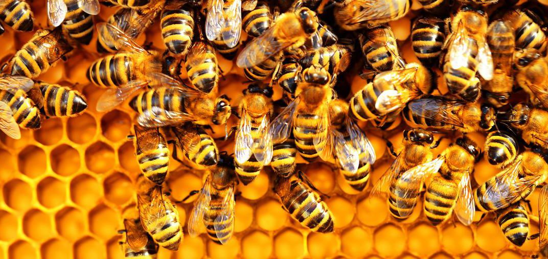 Researchers Create First Ever Honey Bee Vaccine