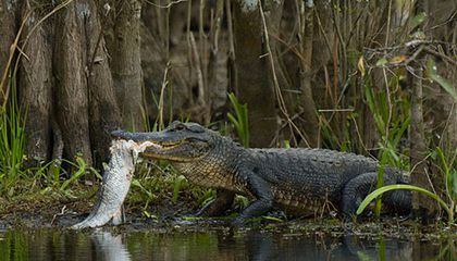 Alligator hunting
