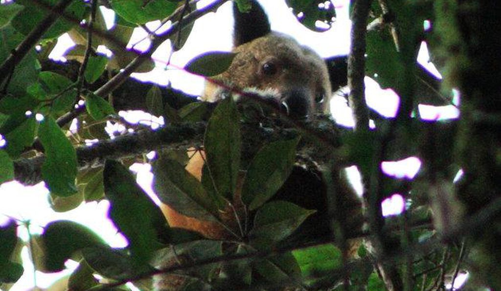 This is the first sighting of the tree kangaroo since 1928
