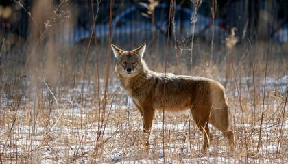 Foxes and Coyotes are Natural Enemies. Or Are They?