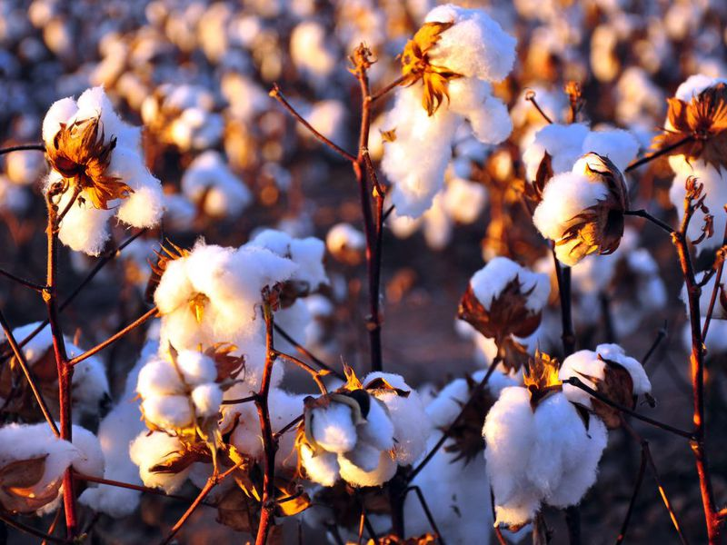 cottonplants.jpg