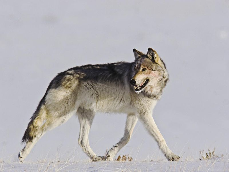 Gray Wolf in Yellowstone