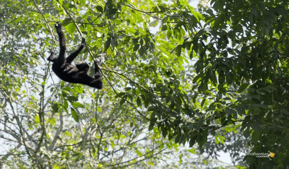 Preview thumbnail for video'How Fast Can Gibbons Swing Through the Forest?