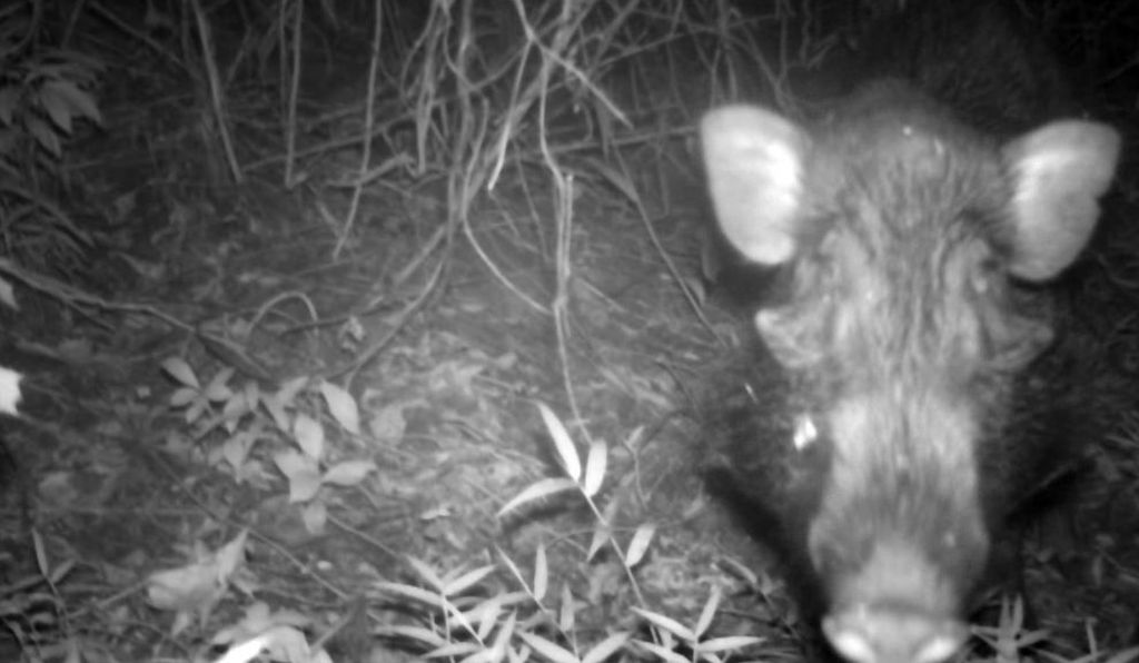 Camera trap photograph of Javan warty pig.