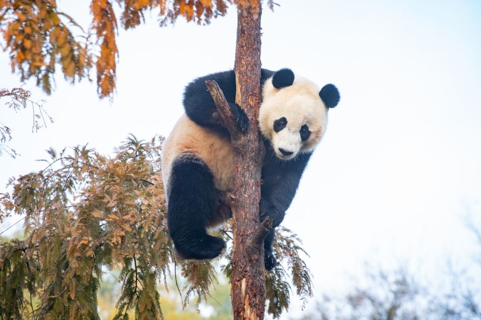 Giant panda Bei Bei climbs a tree on his final day at the Smithsonian's National Zoo.