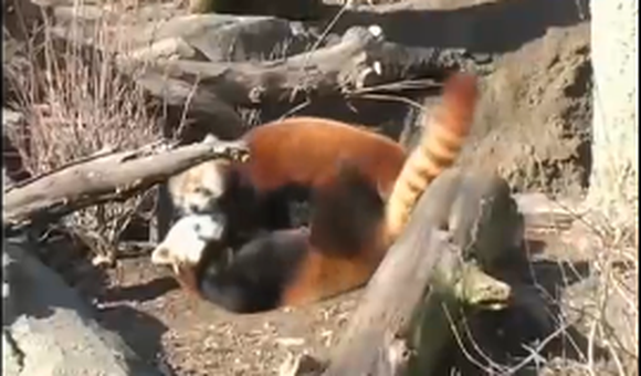 Preview thumbnail for video'Love at First Site for Two Red Pandas