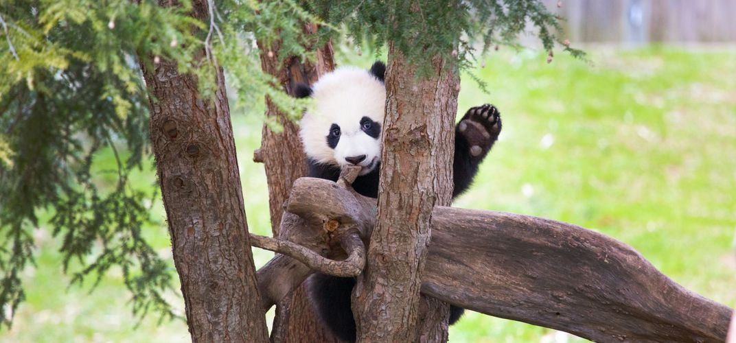 Caption: National Zoo Says Bye Bye to Bei Bei