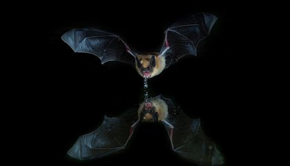 Where Clean Drinking Water Is Hard To Find, Bats Could Lead the Way