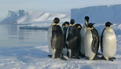 Satellites Spy Poop-Stained Ice, Revealing New Emperor Penguin Colonies