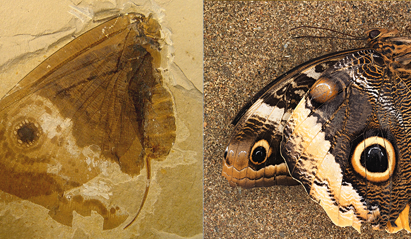 butterfly fossil
