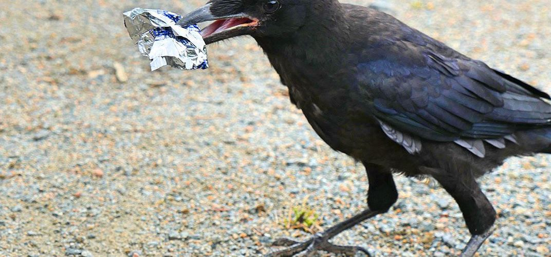 Caption: A French Theme Park Taught Crows To Pick Up Trash