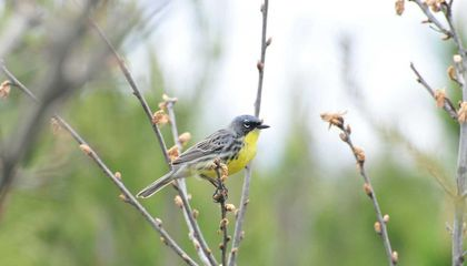 North America's Rarest Warbler Comes Off the Endangered List