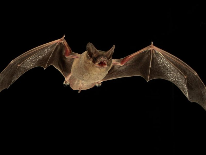 an expose on the nature and different species of the vampire bats Vampire bats are bats whose food source is blood, a dietary trait called  hematophagy three extant bat species feed solely on blood: the common  vampire bat  the hairy-legged vampire bat likely diverged from the other two  species of vampire  making it one of the fastest examples of natural selection  among mammals.