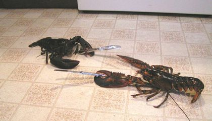 Lobsters Have Age-Revealing Rings, Just Like Trees