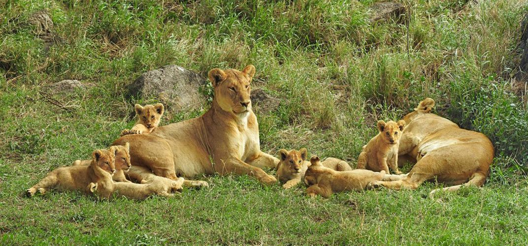 Two female lions with cubs. Credit: Kirt Kempter