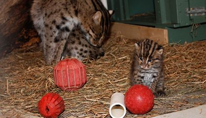 Newborn Fishing Cats at the National Zoo May Help Crack Breeding Code