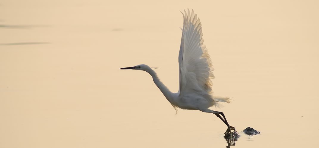 Egret, Keoladeo Ghana National Park