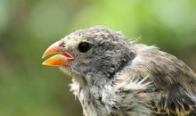 Parasites Are Ruining the Lovesongs of Darwin's Finches
