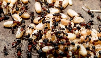 Ant Colonies Retain Memories That Outlast the Lifespans of Individuals