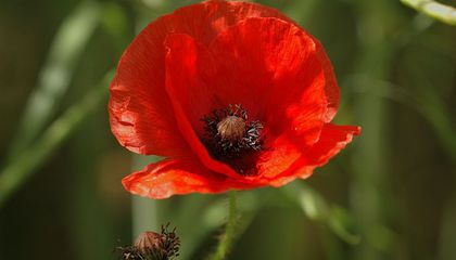 The seeds of common poppy (Papaver rhoeas) only germinate when the soil in which they live is disturbed. Intense fighting during World War I decimated Europe's physical environment, causing thousands of poppies to bloom where battles once raged. (Gary Houston, CC0 1.0)