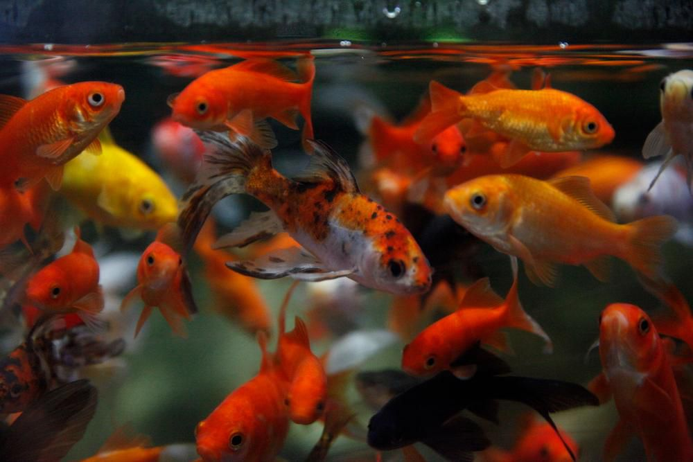 The Paris Aquarium Is Giving Unwanted Goldfish A Second Chance Travel Smithsonian Magazine
