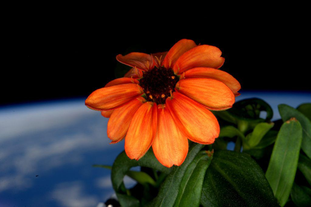 A flower blooms – in space