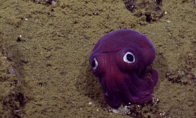 Big-eyed squid looks more like toy than animal