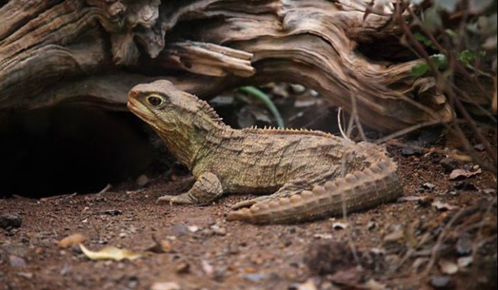 The Tuatara, Sphenodon punctatus, is a unique reptile found in New Zealand. New research suggests the species has two mitochondrial genomes. (Robert Sprackland)