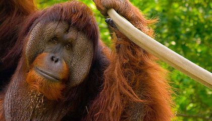 Why Some Orangutans Never Want to Grow Up