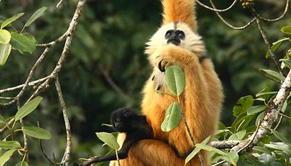 Saving the Cao Vit Gibbon, the Second Rarest Ape in the World