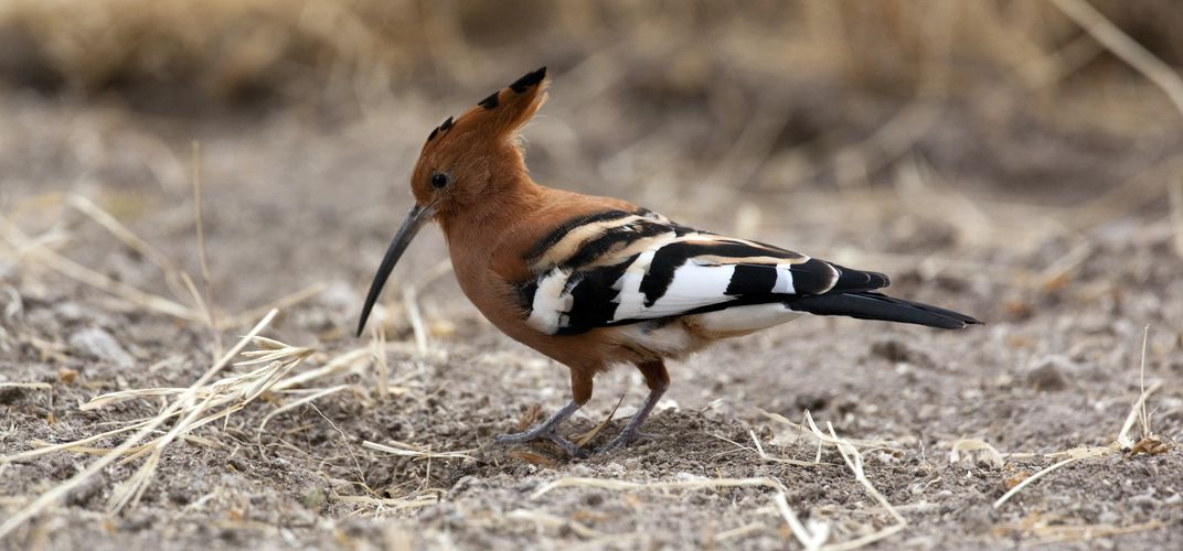 A hoopoe bird in Namibia