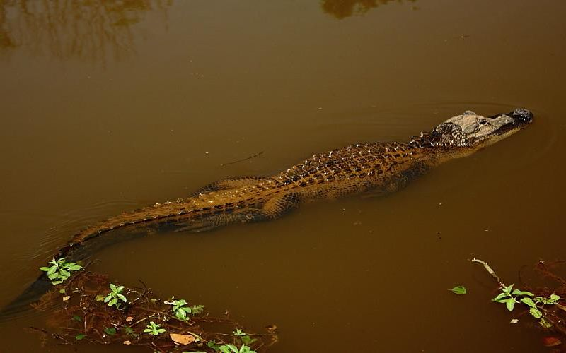 An image of an alligator swimming through murky water. Its tail is nearly as long as its body, helping it glides beneath the surface of the water.