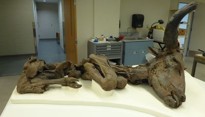 How Bison Mummies Help Scientists to Ruminate on Ancient Climate