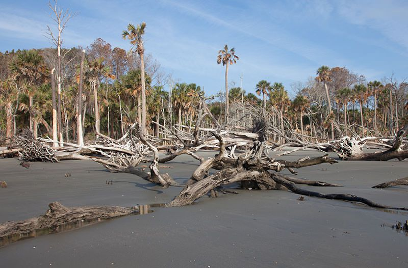 ghost forest on Capers Island, South Carolina
