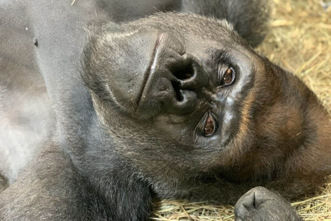 A close-up of male silverback western lowland gorilla Baraka's face as he lays on his back in a pile of hay.