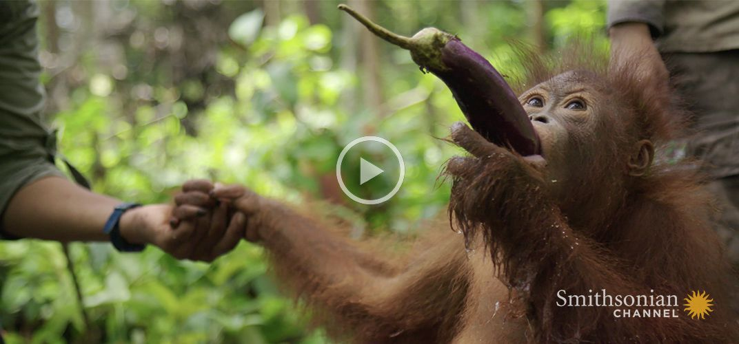 Caption: Young Orangutan Learns How to Scoop Water